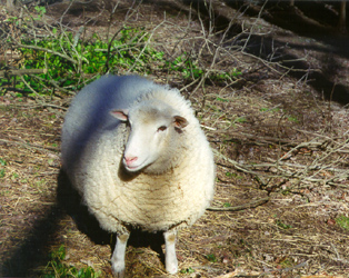 [color photograph of sheep]