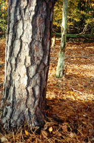 [color photograph of tree trunk of Loblolly Pine]