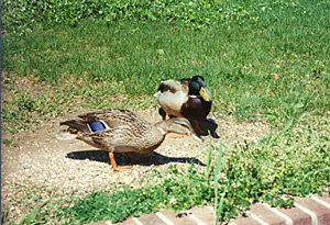 [color photograph of mallards]